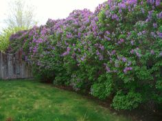 Lilac bushes as fence row