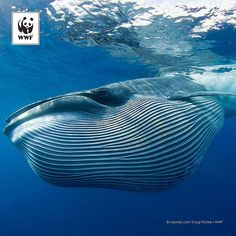 WWF #PicoftheWeek: Bryde's #whale feeding on sardines.  The wildlife that lives in our oceans is simply amazing. From close encounters to far off sightings, we love #naturephotography - it's so inspiring!  Want to help us inspire the world to#carefortheocean? Enter our photo contest now → visit the link in our bio to learn how.