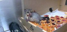 Possum broke into a bakery and ate so many pastries it couldn't move.