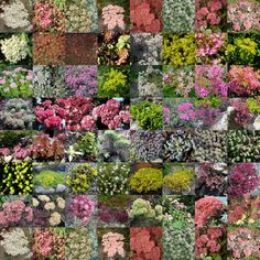 So many colours, so many varieties. In the immortal words sung by Thunderclap Newman; We have got to get it together.  Open your heart to Sedums!
