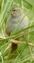 Sulphur-bearded Spinetail(Cranioleuca sulphurifera)   Hideo Tani