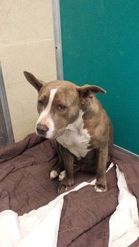 Urgent, pregnant dog at animal control in labor, rescue agency needed>>1.30.14 UPDATE: I was advised that this dog is showing signs of going into labor at the shelter tonight. PLEASE continue to share for rescue assistance!