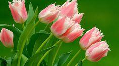 Copo de Leite | Primavera Garden Center