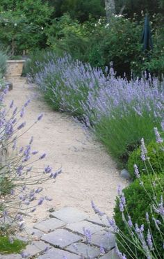 Lavender lined pathway - when someone walks by and brushes against the plants it smells like lavender!