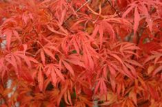 Acer palmatum 'Beni Shi En' | Kiefer Nursery: Trees, Shrubs, Perennials