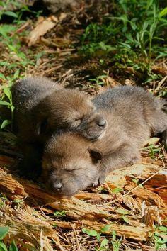 Wolf Spirit, Spirit Animal, Beautiful Wolves, Animals Beautiful, Wolf Pictures, Animal Pictures, Cute Baby Animals, Animals And Pets, Strange Animals