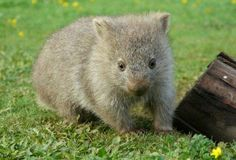 'Little cute wombat' by CWPhotos. baby wombat on Flinders Island Cute Wombat, Baby Wombat, Animals And Pets, Cute Animals, Quokka, Australian Animals, Little People, Animal Kingdom, Cute Wallpapers