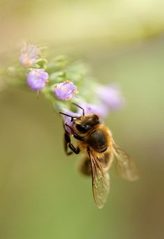 ☀Honey Bee, by Sven Hastedt*