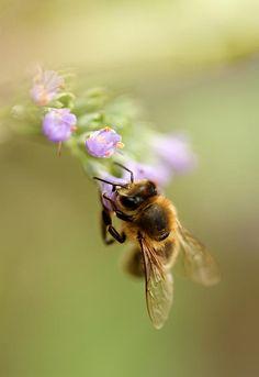 ☀Honey Bee, by Sven Hastedt*