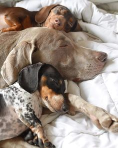 Snoozeday by harlowandsage Animals And Pets, Baby Animals, Funny Animals, Cute Animals, Cute Puppies, Cute Dogs, Dogs And Puppies, Weimaraner, Dachshund Love