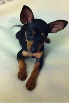 Our Precious (Prague Ratter) Maly Laska=Little Love in Czech Mini Pinscher, Miniature Pinscher, Min Pin Puppies, Min Pin Dogs, Chihuahua Puppies, Dogs And Puppies, Doggies, Frenchie Puppies, I Love Dogs
