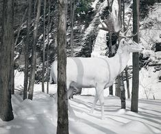 Picture of a constructed image of a white deer walking through the snowy woods. Simen Johan creates life-like Photoshop art from his nature photography.