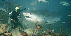 big tiger shark  HOLY CRAP! I knew Tigers can be huge but this is a monster size tiger. It looks well fed though LOL