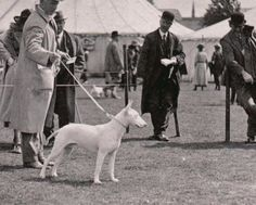 1924 UK-colección C.H. British Bull Terrier, English Bull Terriers, Bully Breed, Dog Stuff, Bullying, Charts, My Love, Dogs, Animals