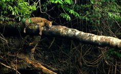 A onça-pintada (Panthera onca) na Amazônia