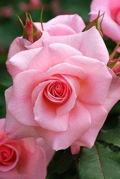 Pink Rose Beauty