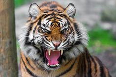 Tigre furioso
