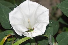 Grasshopper on the Moon Plant flower.  This flower only opens at night.