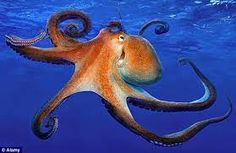 Image result for octopus head