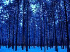 Pines in winter, Männiku - Estónia – Wikipédia, a enciclopédia livre