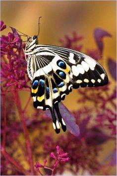 Emperor #Swallowtai #butterflyl