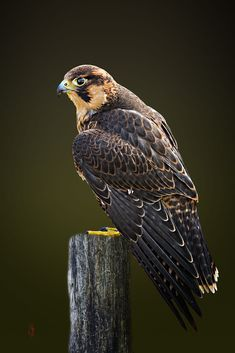 Barbary falcon (Falco pelegrinoides) by Jean-Claude Sch. on 500px