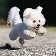 ぴょ〜ん#dog #bichon #bichonfrise #ビション #ビションフリーゼ #dogstagram #lovedogs #instadog #photooftheday #dogoftheday #犬バカ部#飛行犬