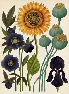 London-based artist Katie Scott creates intricate artworks inspired by vintage Japanese medical illustrations and the work of German biologist Ernst Haeckel. More illustrations via FormFiftyFive Illustration Botanique, Illustration Blume, Brain Illustration, Family Illustration, Botanical Flowers, Botanical Art, Vintage Botanical Illustration, Vintage Botanical Prints, Sunflower Illustration