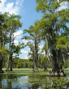 Taxodium distichum forest, Caddo Lake, Texas