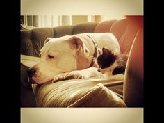 """""""To be brave is to love someone unconditionally, without expecting anything in return. To just give. That takes courage, because we don't want to fall on our faces or leave ourselves open to hurt."""" #madonna   #pitbullloversandadvocates   #nobsl   #nobslifestyle   #fightbreeddiscrimination   #shortyrossi   #pitboss   #adoptadog"""