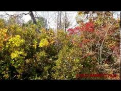 A colorful fall walk through beautiful Lincoln Woods State Park by Walt Barrett Video Advertising, Filmmaking, State Parks, Lincoln, Woods, Green, Plants, Beautiful, Cinema
