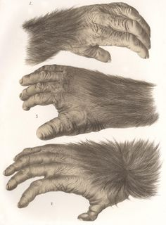 Chimpanzee Hand and Feet Print