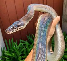 on't know about you but we LOVE snakes 🥺🖤🐍 Scarlet the Southern white lipped python (Bothrochilus meridionalis) and . Pretty Snakes, Cool Snakes, Beautiful Snakes, Colorful Snakes, Les Reptiles, Cute Reptiles, Reptiles And Amphibians, Pretty Animals, Animals Beautiful