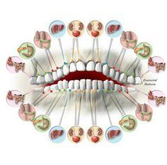 Órgãos associados aos dentes!