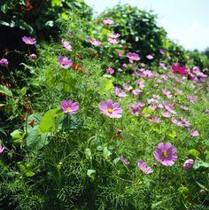 COSMOS. El viento es su enemigo, puede romper sus tallos. Es excelente para cultivar en la parte trasera de las borduras. Clima: mediterráneo y continental, al sol.