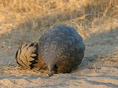 Pangolin curled in defense.  These solitary, primarily nocturnal animals, are easily recognized by their full armor of scales. A startled pangolin will cover its head with its front legs, exposing its scales to any potential predator. If touched or grabbed it will roll up completely into a ball, while the sharp scales on the tail can be used to lash out.