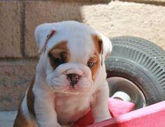 AKC English Bulldog puppy Male