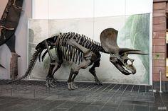 Triceratops Skelett / Skeleton | Flickr - Photo Sharing!