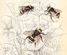 Antique Vintage Bee Print dated 1840 . via slinkymalinkicat on etsy