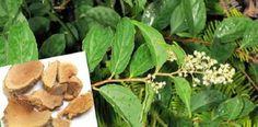 Čínska rastlinka porazí rakovinu už za 40 dní!