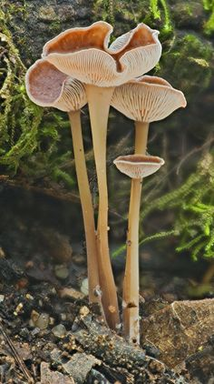 22_0253 Gymnopus (Collybia) sp | Flickr - Photo Sharing!