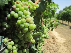 Barcelona Turisme Wine and Cava Tour (visit 3 different wineries) - Spain
