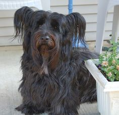 Skye Terrier Dog Breed Information and Pictures Terrier Dog Breeds, Terrier Mix Dogs, Terriers, Skye Terrier, Cute Dog Photos, Puppy Pictures, Cute Puppies, Cute Dogs, Mans Best Friend
