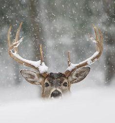 Bekijk de foto van lautjuhhh2000 met als titel Super foto! hert in de sneeuw en andere inspirerende plaatjes op Welke.nl.