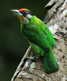 Golden-throated Barbet (Megalaima franklinii) - Asia