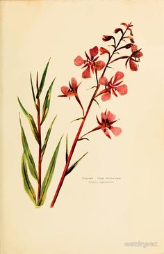 Harper's Guide to Wild Flowers 1912 Creevey, Caroline and Stickney, Alathea 093 Fireweed