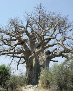 Baobab tree in Botswana  #baobab #trees #safari #earthofficial #africaninspired  #awesome #fiftyshades_of_nature #botswana #africaroadtrip #africa #mypictures #travelgram #intothewild #fotofanatics_nature_  #ig_naturepictures  #reiseblogger #travelblogger #reisebericht #reiseblogger_de #travelgram #globetrotter #collectmoments #collectmomentsnotthings #doyoutravel #instapassport #landscape #landscapephoto