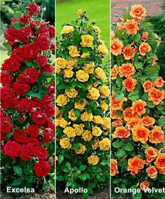 6 Fountain Roses in 3 Different Varieties