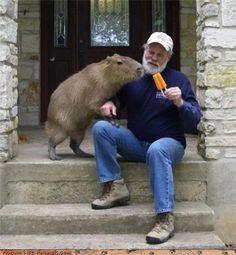Capybara....nom, nom, gimme dat popsicle, Pops!