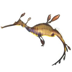 The weedy seadragon (Phyllopteryx taeniolatus) is found off the coast of Australia and looks like a cross between a kangaroo, a seahorse and a bit of seaweed